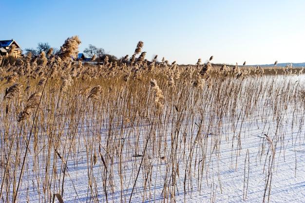 Lago ghiacciato e canne secche mattina gelida in inverno contro il sole