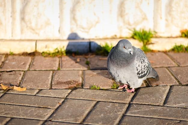 Uccello congelato del piccione che sta su una passerella in un parco cittadino. vista ravvicinata