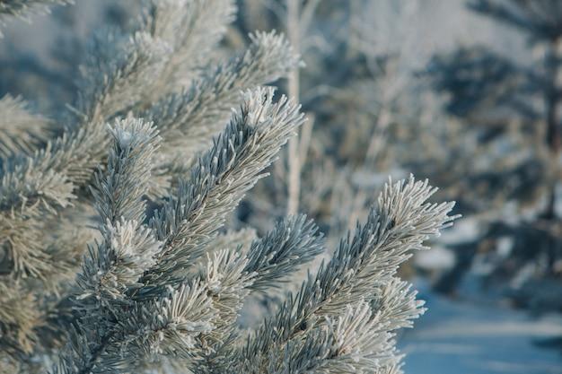 Primo piano congelato del ramo di pino. brina sulle piante. paesaggio invernale: neve in natura. aghi nel gelo.