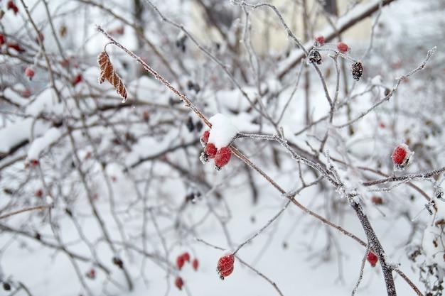 Bacche e foglie di rosa canina congelate con brina