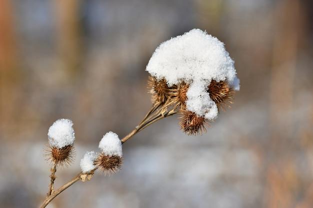 Cardo congelato coperto di neve