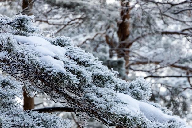 Foresta invernale congelata nella nebbia. primo piano di un pino innevato su uno sfondo