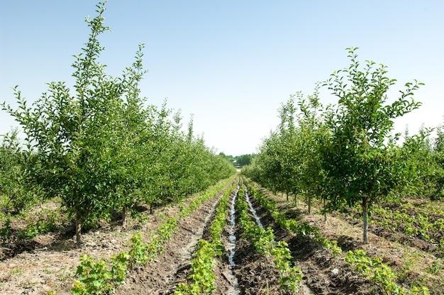 Alberi da frutto e meli su un crinale in fila all'aria aperta