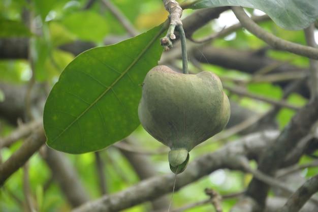 Albero di barringtonia da frutto (l.barringtonia asiatica) o albero di veleno marino chiuso. tailandia.