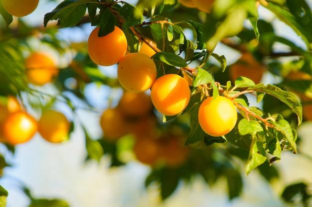Frutta arancia ciliegia prugna alla luce del sole