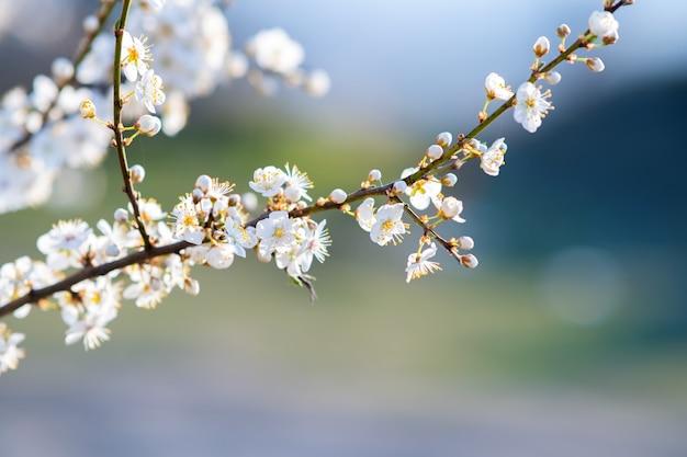 Ramoscelli di alberi da frutto con fiori di petali bianchi e rosa in fiore nel giardino primaverile.