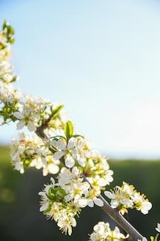 Gli alberi da frutto fioriscono in primavera su uno sfondo di cielo azzurro e altri alberi in fiore. avvicinamento .