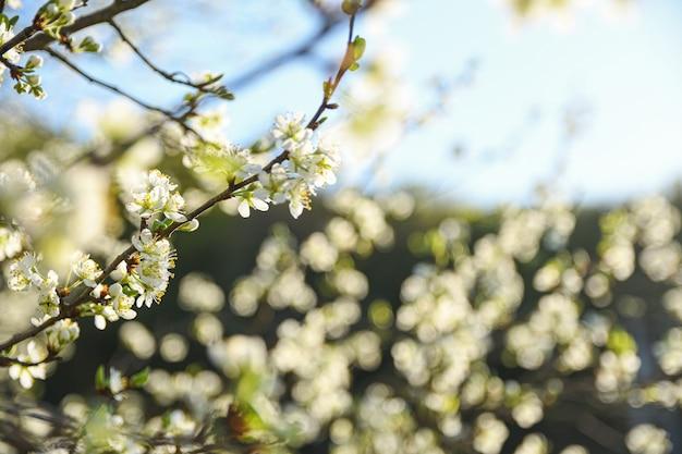 Gli alberi da frutto fioriscono in primavera su uno sfondo di cielo azzurro e altri alberi in fiore.