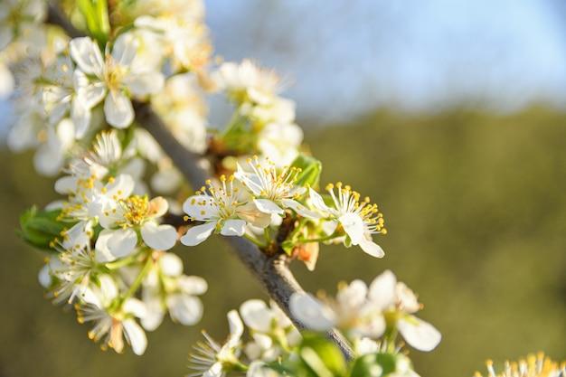 Gli alberi da frutto fioriscono in primavera contro un cielo azzurro e altri alberi in fiore