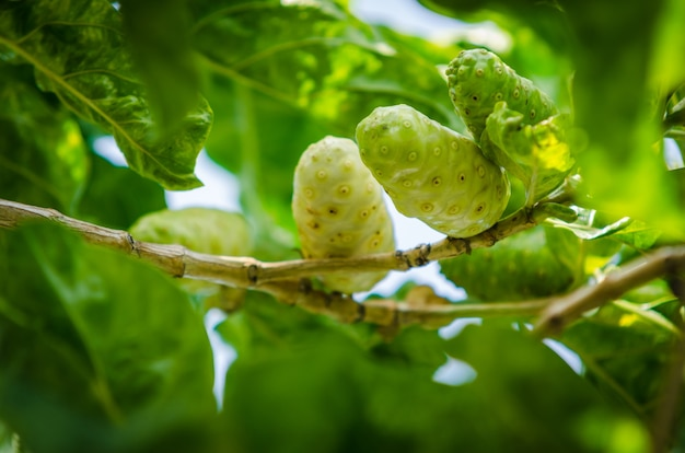 Frutti di noni con foglie verdi, piante officinali, erbe