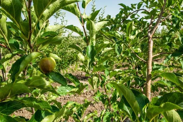 Melo fruttato e una mela su un primo piano dell'albero