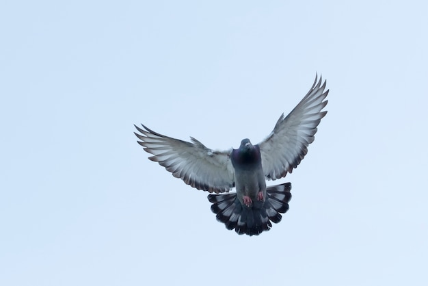 Corpo pieno del piccione viaggiatore volante contro il cielo bianco limpido