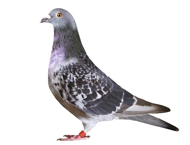 Il corpo completo dell'uccello del piccione da corsa di velocità isola lo sfondo bianco