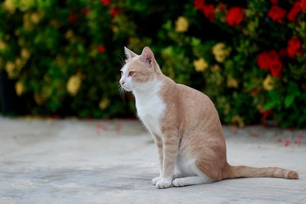 Corpo pieno di gatto domestico tailandese in piedi all'aperto