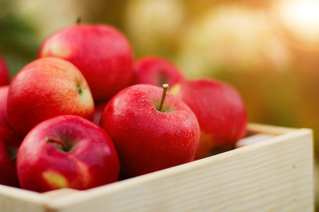 Una scatola piena di mele biologiche rosse fresche in primo piano nel giardino autunnale. il concetto di raccolta. vista laterale.