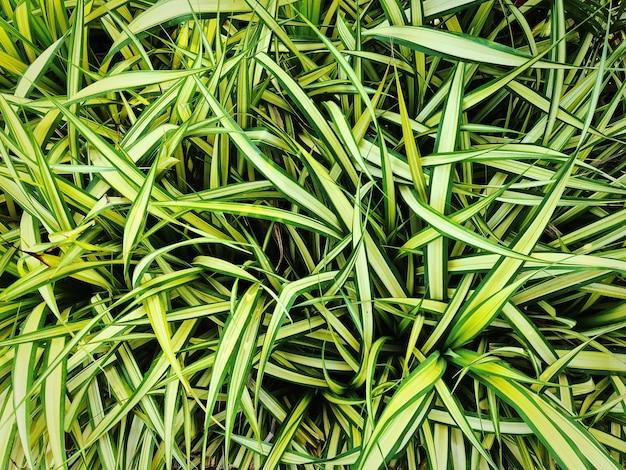 Full frame sfondo di piante ragno giallo verde fresco bush