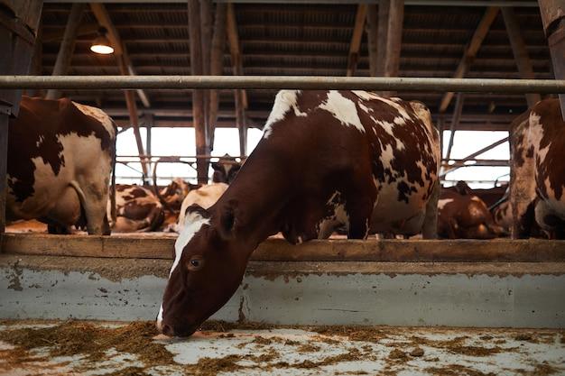 Ritratto integrale di bella mucca sana che mangia fieno mentre levandosi in piedi in penna animale al caseificio, lo spazio della copia