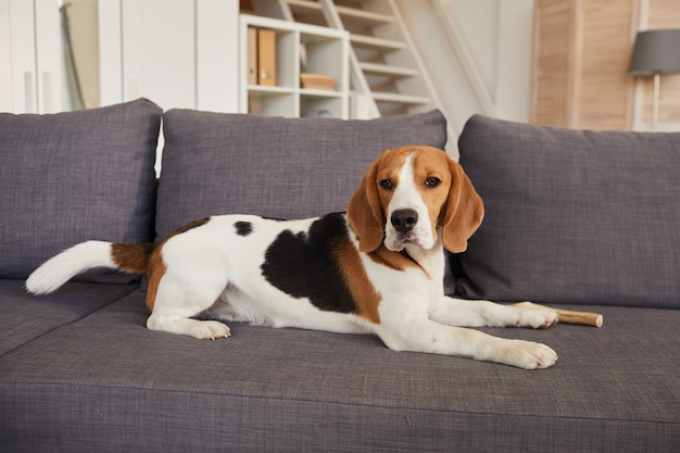 Ritratto integrale del cane beagle carino sdraiato sul divano in interni domestici moderni