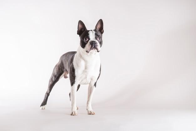 Colpo di studio a tutta lunghezza di un giovane e attento cane boston terrier