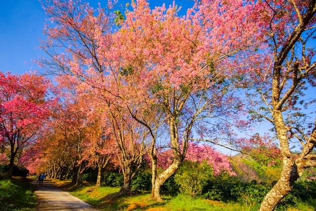 Fiore di ciliegio rosa pieno in primavera al mattino nel nord della thailandia nome del luogo khun wang