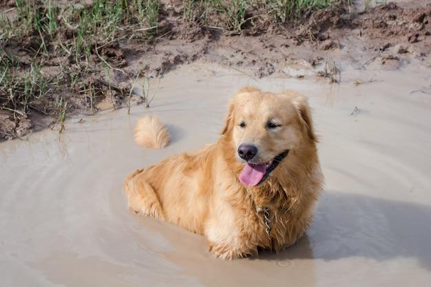 Divertente cane golden retriever che gioca nel fango