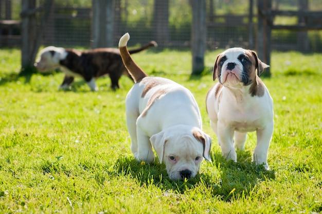 Cuccioli di bulldog americano divertenti stanno giocando sulla natura.