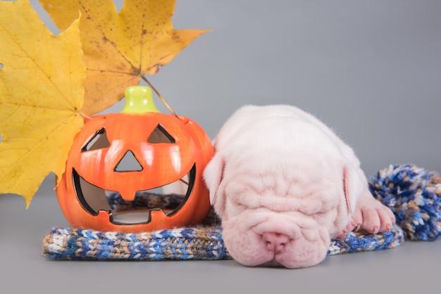 Il cucciolo di cane divertente del bulldog americano sta dormendo con la piccola zucca arancione
