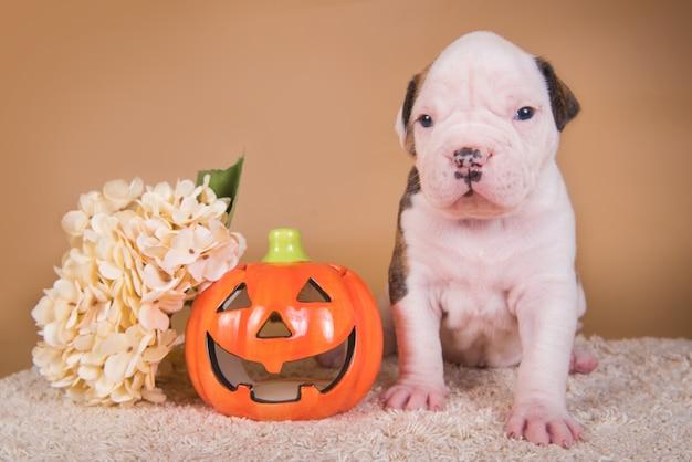 Cucciolo di cane divertente del bulldog americano e piccola zucca arancione