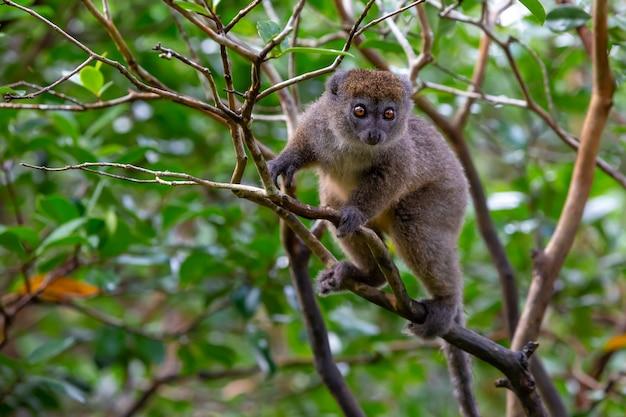 Il lemure di bambù divertente su un ramo di albero che guarda i visitatori