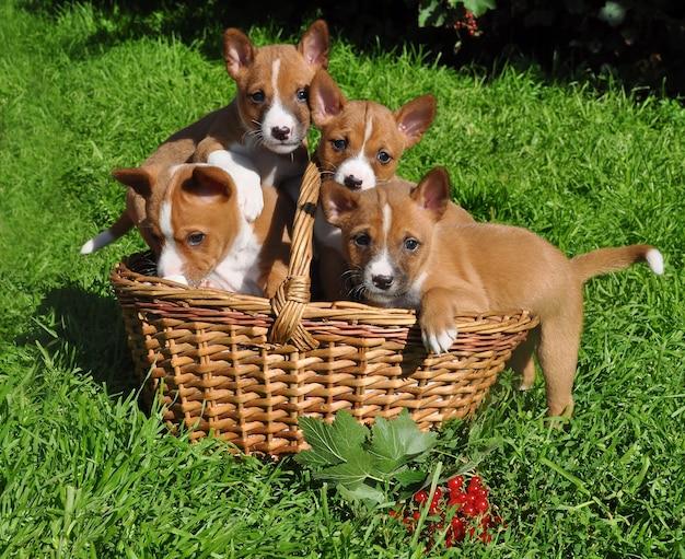 Cuccioli di cani basenji divertenti in un cestino