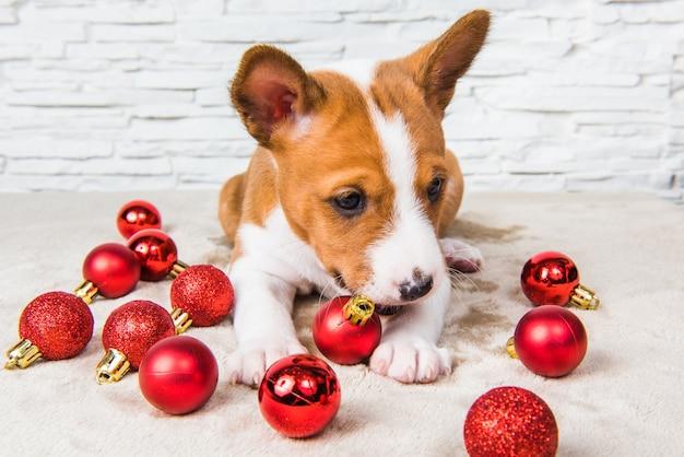 Il cucciolo di cane divertente di basenji sta giocando con le palle rosse di natale