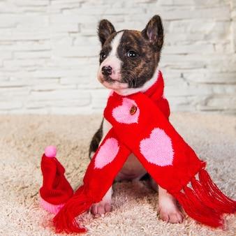 Divertente cucciolo di cane basenji in sciarpa santa con cuori sul muro bianco