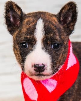 Divertente cucciolo di cane basenji in sciarpa santa con cuori