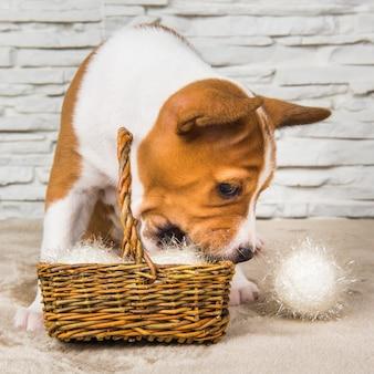 Divertente cucciolo di cane basenji con palla bianca o cesto di palle di neve a capodanno, natale