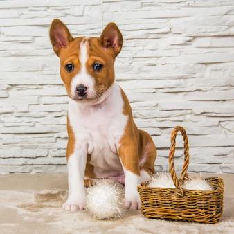 Divertente cucciolo di cane basenji con palla bianca o cesto di palle di neve