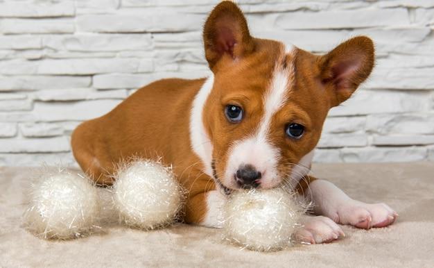 Divertente cucciolo di cane basenji con palla bianca o palla di neve a capodanno, natale