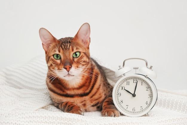 Gatto bengala divertente sdraiato su un plaid a maglia bianca vicino alla svegliasveglia presto per andare a letto tardi