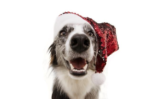 Animale domestico divertente del cane del collie di bordo che porta un cappello di babbo natale di natale