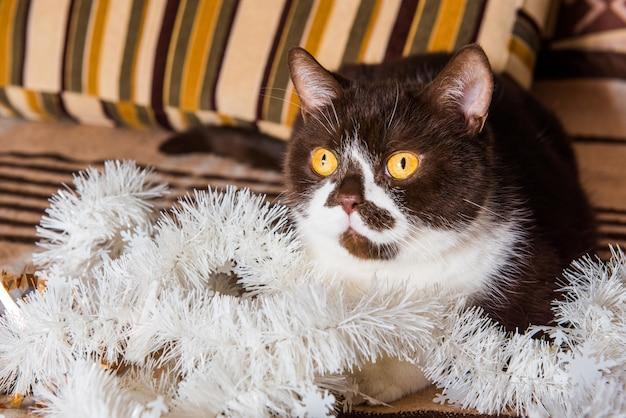 Il divertente colore cioccolato del gatto britannico sta giocando con la ghirlanda di natale su una coperta