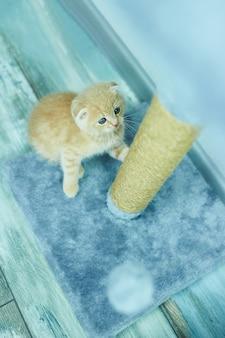 Divertente gioco di gattini british shorthair, graffiando un albero di gatto