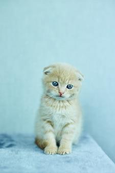 Gioco divertente del gattino dello shorthair britannico, graffiante un albero del gatto
