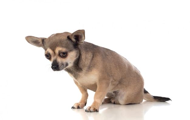 Divertente chihuahua marrone con grandi orecchie