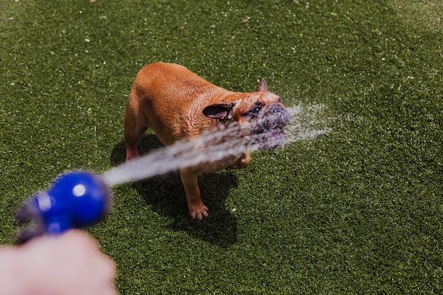 Bulldog francese marrone divertente che gioca con l'acqua che viene dal tubo flessibile al giardino. divertimento all'aperto e concetto estivo