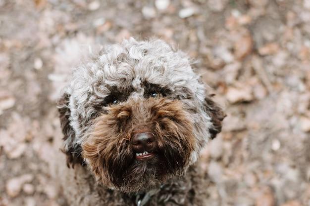 Barboncino marrone divertente che osserva in su al parco sulla stagione autunnale