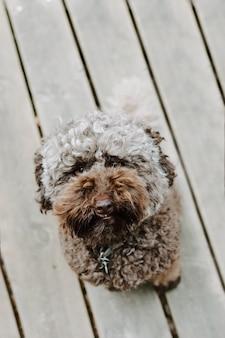 Barboncino marrone divertente che osserva in su al parco in estate