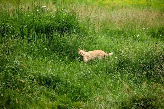 Il gatto divertente cammina nell'erba verde