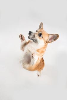Divertente cane corgie in piedi sulle zampe posteriori