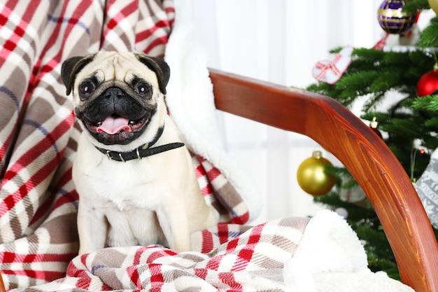 Carlino divertente, carino e giocoso su una sedia a dondolo vicino all'albero di natale su sfondo chiaro