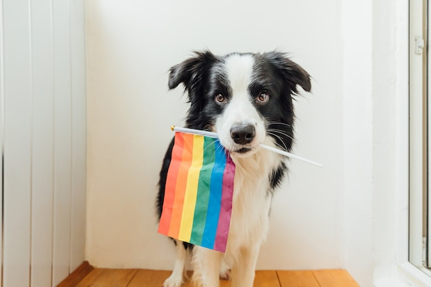 Divertente carino cucciolo di cane border collie che tiene la bandiera arcobaleno lgbt in bocca su sfondo bianco a casa coperta.