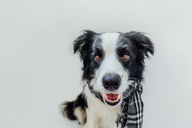 Divertente simpatico cucciolo di cane border collie indossando vestiti caldi sciarpa intorno al collo isolati su sfondo bianco. ritratto di cane invernale o autunnale. ciao autunno autunno. hygge umore freddo concetto.